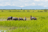 Farmer Herding Water Buffalo by the Kaladan River, Rakhine, Myanmar Photo by Keren Su