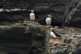 Norway. Svalbard. Krossfjord. Nesting Colony of Puffins Photo by Inger Hogstrom