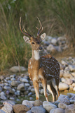 Chital Stag on the Riverbed of River Ramganga, Corbett NP, India Photo by Jagdeep Rajput