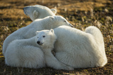 Canada, Manitoba, Churchill, Polar Bear and Cubs Resting on Tundra Photo by Paul Souders