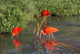 Scarlet Ibis (Eudocimus Ruber), Brazil Photo by Keren Su