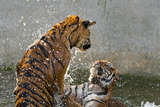 Tigers Playing in Water, Indochinese Tiger or Corbetts Tiger, Thailand Photo by Peter Adams