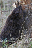Beaver at Work Photo by Ken Archer