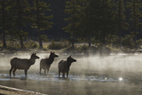 Rocky Mountain Cow Elk in Foggy Morning Pond Photo by Ken Archer