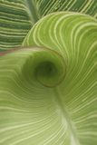 Striped Canna Leaf Abstract Photo by Anna Miller