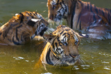 Young Tigers Playing in Water, Indochinese Tiger, Thailand Photo by Peter Adams