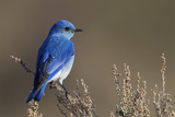Mountain Bluebird Foto af Ken Archer