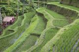 Indonesia, Bali. Terraced Subak Rice Paddies of Bali Island Photo by Emily Wilson