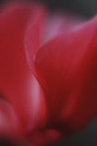 Red Cyclamen Abstract Photo by Anna Miller