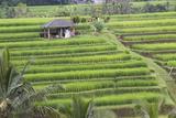 Indonesia, Bali. Terraced Subak Rice Fields of Bali Island, Indonesia Photo by Emily Wilson