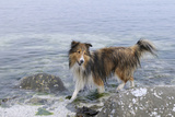 Canada, B.C., Gulf Islands, Portland Island. Sheltie in the Ocean Photo by Kevin Oke