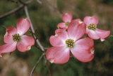 Pink Dogwood Blooms Photo by Anna Miller