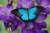 Mountain Blue Swallowtail of Australia, Papilio Ulysses Photo by Darrell Gulin
