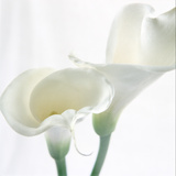 Calla Lily Photo by Anna Miller