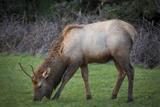 Young Elk Feeding in a Grassy Area Near Cannon Beach, Oregon Photo by Brian Jannsen