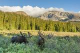 USA, Colorado, Arapaho NF. Three Male Moose Grazing on Bushes Photo by Cathy & Gordon Illg
