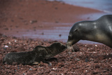 Galapagos Sea Lion Mom and New Pup, Rabida Island, Galapagos, Ecuador Photo by Pete Oxford