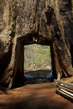 Dead Giant Tunnel Tree, Tuolumne Grove, Yosemite NP, California Photo by David Wall