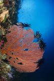 Sea Fan (Gorgonia) and Feather Star (Crinoidea), Rainbow Reef, Fiji Photo by Pete Oxford