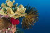 Bennett's Feather Star (Oxycomanthus Bennetti), Rainbow Reef, Fiji Photo by Pete Oxford