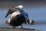 Spectacled Eider Stretching Photo by Ken Archer