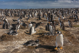 Falkland Islands, Sea Lion Island. Gentoo Penguin Colony Photo by Cathy & Gordon Illg
