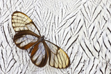 Glass-Wing Butterfly on Silver Pheasant Feather Pattern Photo by Darrell Gulin
