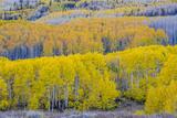 Fall Aspen Trees Near Guardsman's Pass Near Park City, Utah Photo by Howie Garber