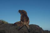 Galapagos Sea Lion Pup, Galapagos, Ecuador Photo by Pete Oxford
