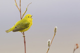 Yellow Warbler Singing Photo by Ken Archer