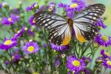 Butterfly Calinaga Buddha, the Freak Photo by Darrell Gulin