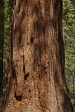 Giant Sequoia Tree Trunk, Tuolumne Grove, Yosemite NP, California Photo by David Wall