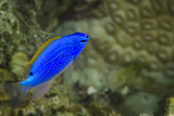 South Seas Devil Damselfish, Coral Reef, Koro Island, Fiji Photo by Pete Oxford