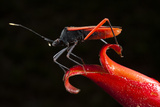 Big-Legged Bug on Heliconia Flower, Yasuni NP, Amazon, Ecuador Photo by Pete Oxford