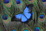 Blue Mountain Swallowtail Butterfly on Peacock Tail Feather Design Photo by Darrell Gulin