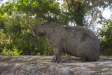 Capybara, Northern Pantanal, Mato Grosso, Brazil Photo by Pete Oxford