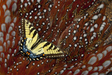 North American Tiger Swallowtail Butterfly on Tragopan Body Feathers Photo by Darrell Gulin