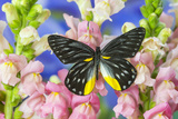 Jezebels Butterfly, Delias Species in the Pieridae Family Photo by Darrell Gulin