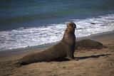 California, San Luis Obispo. Elephant Seal Colony at Piedras Blancas Photo by Kymri Wilt