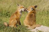 Red Fox Kits Playing Photo by Ken Archer