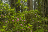 USA, California, Redwoods National Park. Rhododendrons in Forest Photo by Cathy & Gordon Illg