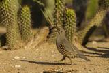 USA, Arizona, Sonoran Desert. Gambel's Quail and Cactus Photographie par Cathy & Gordon Illg