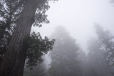 Lady Bird Johnson Grove in Fog, Prairie Creek Redwoods SP, California Photo by Rob Sheppard
