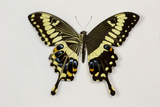 Emperor Swallowtail Butterfly from Africa with Wing Comparison Photo by Darrell Gulin
