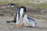 Gentoo Penguin Chick Being Fed by Parent on the Falkland Islands Photo by Martin Zwick