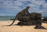 Marine Iguana (Amblyrhynchus Cristatus), Galapagos Islands, Ecuador Photo by Pete Oxford