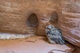 Great Horned Owlet in Buckskin Slot Canyon, Vermillion Cliffs, Utah Photo by Howie Garber