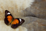 Lacewing Butterfly on Egyptian Goose Feather Design Photo by Darrell Gulin