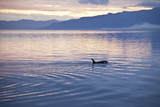 USA, Alaska, Inside Passage, Orcas Cruising Photo by John Ford
