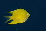 Lemon Damsel (Pomacentrus Moluccensis), Rainbow Reef, Fiji Photo by Pete Oxford
